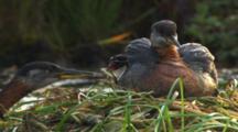 Grebe Adult Feeding Chicks, Babies