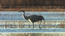 Sandhill Cranes In Lake