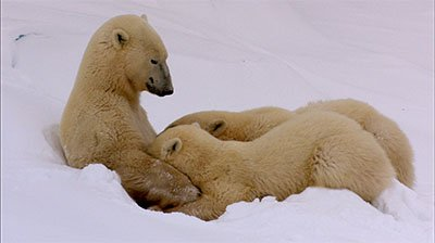 Polar Bear Cubs Nursing