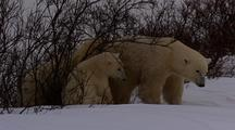 Mother Polar Bear And Cubs In Shrub