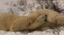 Polar Bears Play Fighting