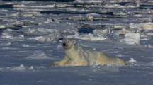 Polar Bear Rubbing Back On Ice Scratching Itching Streaching