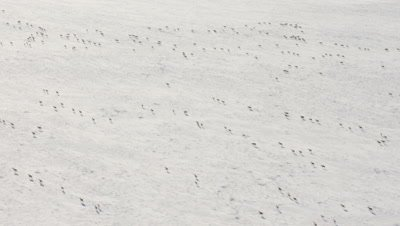 Wide Aerial,Caribou Herd Travels on snow-Covered Tundra