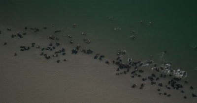 UHD aerial sea otters on shore in large groups in Prince William Sound near Cordova Alaska