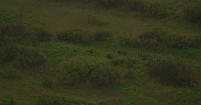 Aerial,Bear,Possibly Grizzly,Walking iN Grass,Busn