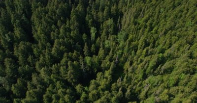 Aerial Over Evergreen Forest,Tilt to Reveal Expansive Vista of snow-covered Mountain Range