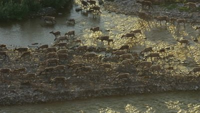 Caribou Migration across Arctic National Wildlife Refuge ANWR Porcupine Herd 4k aerial