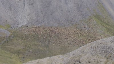 Aerial Alaska past mountain slope to reveal caribou herd in valley
