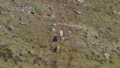 Aerial Alaska,Caribou with calf travels on path in tundra