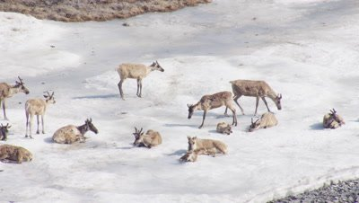 Aerial Alaska,Caribou with young rest on frozen river