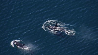 Aerial Above Killer Whale,Orca With Calf