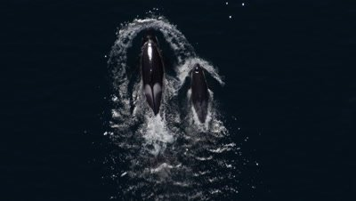 Aerial Above Killer Whale Orca With Calf
