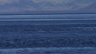 Aerial Coastal Alaska,Killer Whale surfaces briefly