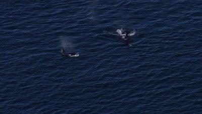 Aerial Coastal Alaska Above Killer Whales,Orcas