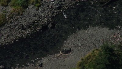 Aerial Alaska,river packed with spawning,dying and dead salmon