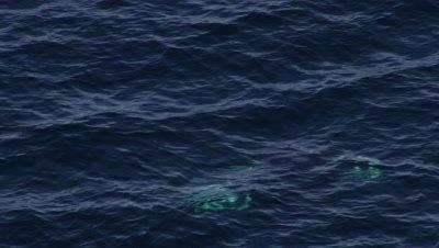 Aerial Coastal Alaska,Pair of Killer Whales just below surface