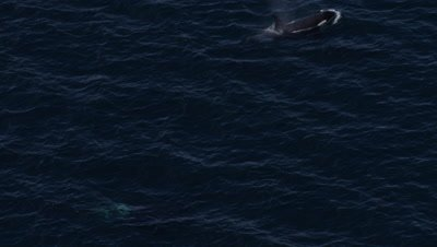 Aerial Coastal Alaska,Pair of Killer Whales Surfaces