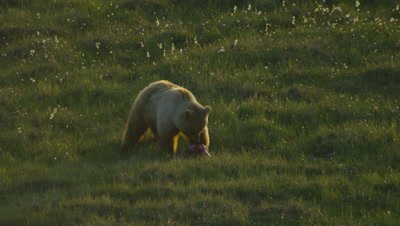 Aerial Alaska,Grizzly Bear In Meadow Feeds On Prey,Tears Flesh