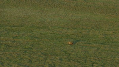 Aerial Alaska,Lone Grizzly Feeds on Prey on Alpine Meadow