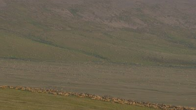 Aerial Alaska,Huge Herd of Caribou on Tundra