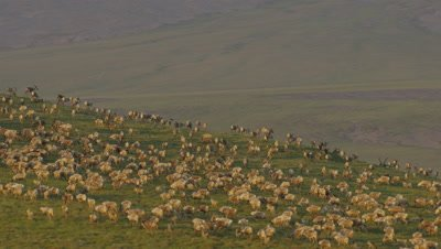 UHD aerial of porcupine Caribou herd migrating across the Arctic National Wildlife Refuge ANWR