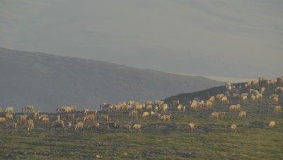 Aerial Alaska,Huge Herd of Caribou on Tundra