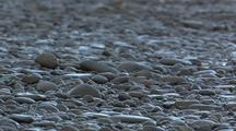 Shore Bird Ruddy Turnstone Walking On Beach
