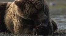 Brown Bear Eating Salmon Grizzly Bear Eating Fish Fishing Claws Food Cycle Alaska