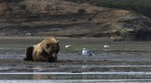 Wide Scenic View Of Brown Bear Near Water Eating Salmon With Gulls