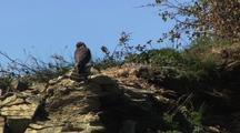 Peregrine Falcon In Alaska South Central Coast Perching On Cliff In Hd