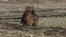 Brown Bear Female And Cub Nursing On Beach