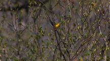 Songbirds Yellow Warbler In Springtime In Alaska On Hd