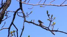 Songbird Song Bird Rests In Tree