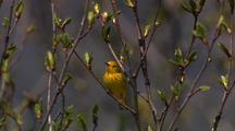 Songbirds Song Birds In Springtime In Alaska On Hd