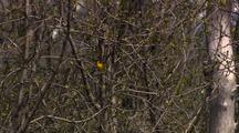 Songbird Song Bird Yellow Warbler In Tree