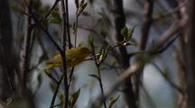 Songbird Song Bird Yellow Warbler Rests In Tree