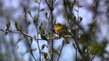 Songbird Song Bird Yellow Warbler Rests In Tree