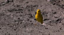 Songbird Song Bird Yellow Warbler Feeds On Ground