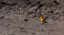Songbird Song Bird Yellow Warbler On Ground