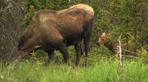 Moose Calf Walking  Moose Baby