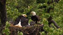 Bald Eagle Lands On Nest In Hd In Alaska