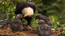 Bald Eagle Feeds Chicks In Nest