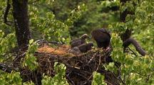 Tilt Up To Bald Eagle Feeding Chicks Sockeye Salmon Red Salmon In Alaska Nest Hd