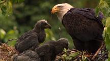 Bald eagle feeds chicks sockeye salmon red salmon in alaska nest HD
