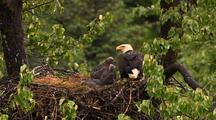 Bald Eagle And Chicks In Nest In Hd In Alaska