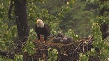 Bald Eagle Flying Off Nest With  Chicks In Nest In Alaska In Hd
