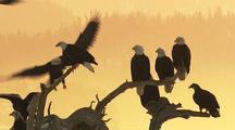 Bald Eagles Perched Medium Shot Hd In Alaska