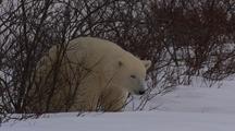Polar Bear Cub In Shrub Scracht Itch Rub On Bush