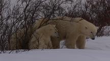 Mother Polar Bear And Cubs  In Shrub Scratch Itch Rub In Bush