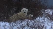 Mother Polar Bear And  Cubs In Shrub Resting Staying Away From Males